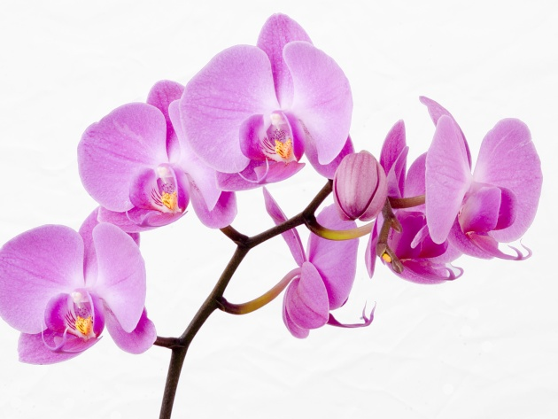 Wallpaper Beautiful Mauve Orchid