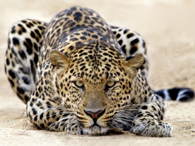 Wallpaper Leopard ready for attack