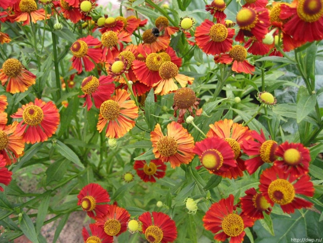 Wallpaper Funny Flowers (Helenium)