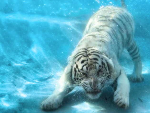 Wallpaper Tiger in the Water