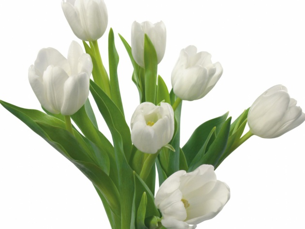 Wallpaper Bouquet of white tulips