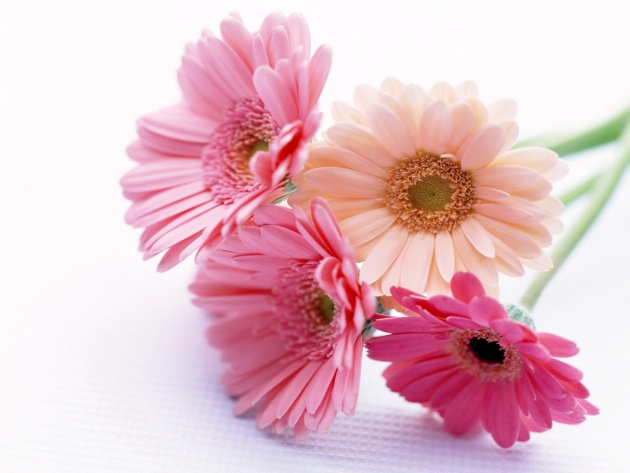 Wallpaper Pale-pink gerberas