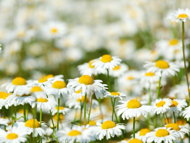 Wallpaper Field of daisies