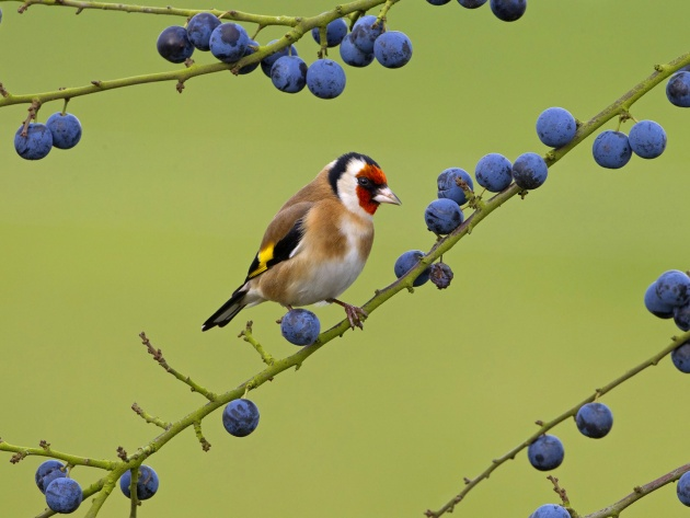 Wallpaper Goldfinch on a branch with berries