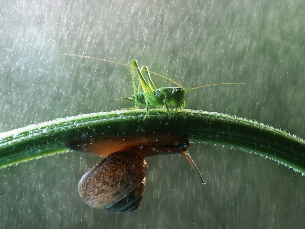 Wallpaper Grasshopper and snail in the rain