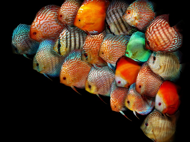 Wallpaper colorful discus fish photo wallpaper desktop for Discus fish food
