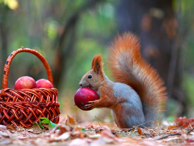 Wallpaper Squirrel and red apples