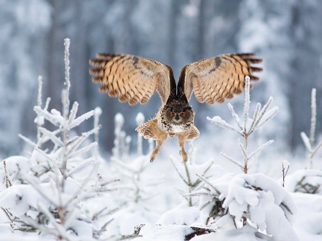 Wallpaper Owl flying over the snow-covered trees
