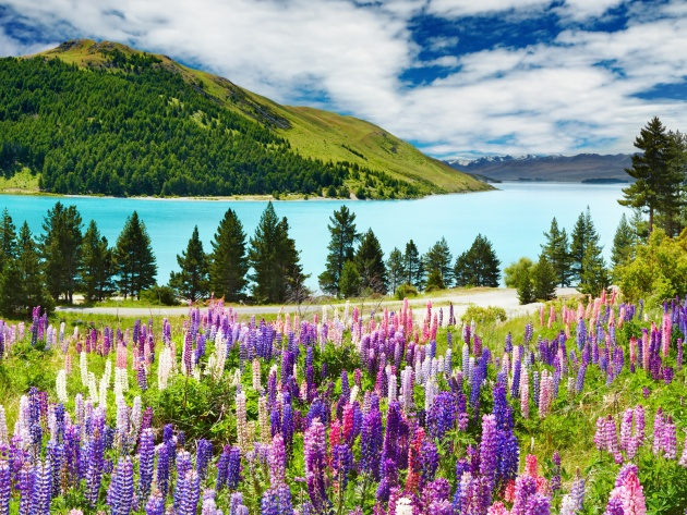 Wallpaper Lupines