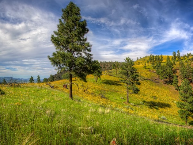 Wallpaper tree, pine, grass, spring, meadow