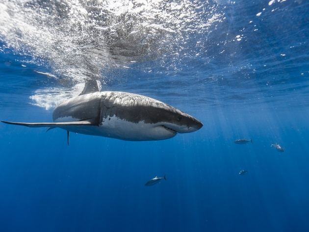Wallpaper sea, ocean, shark, underwater world, white shark, great white shark