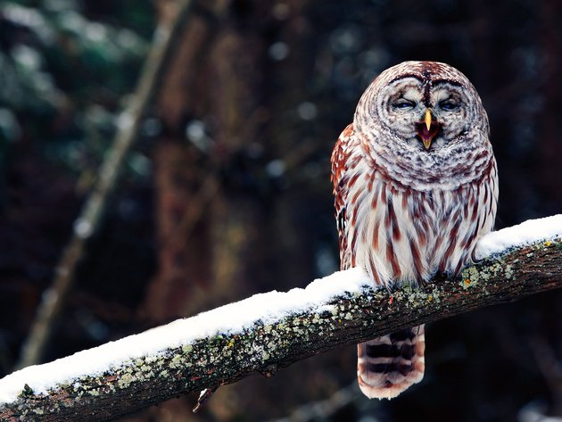 Wallpaper snow, winter, owl, bird, branch
