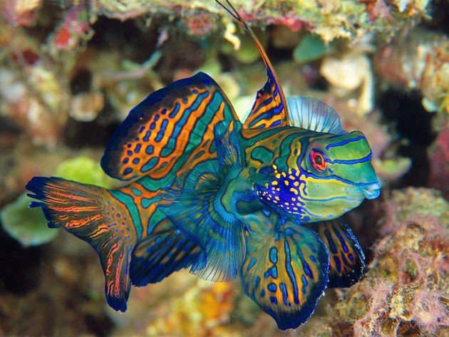 Wallpaper fish, mandarinfish, underwater world, synchiropus splendidus