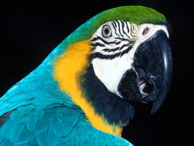 Wallpaper parrot, bird, beak