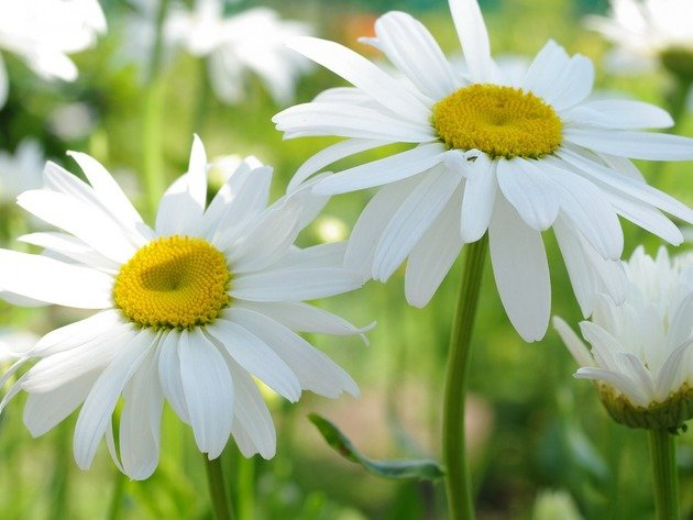 Wallpaper flowers, summer, daisy, leucanthemum vulgare, popovic