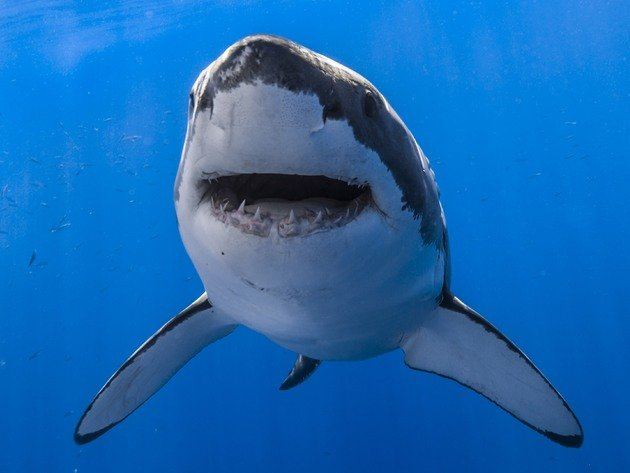 Wallpaper shark, underwater world, white shark, great white shark