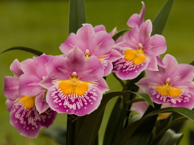Wallpapers blumen, orchidee, мильтониопсис