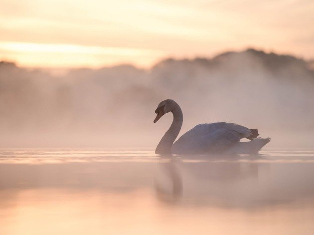 Wallpaper lake, fog, pond, swan, birds