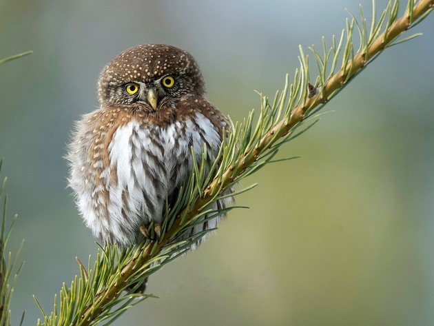 Wallpaper bird, branch, northern pygmy owl