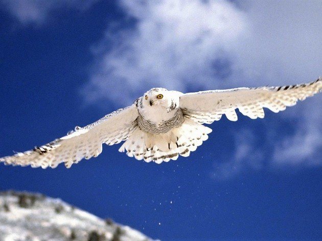 Wallpaper predator, sky, birds, snowy owl