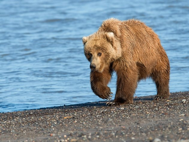 Wallpaper beach, sea, river, bear, grizzly