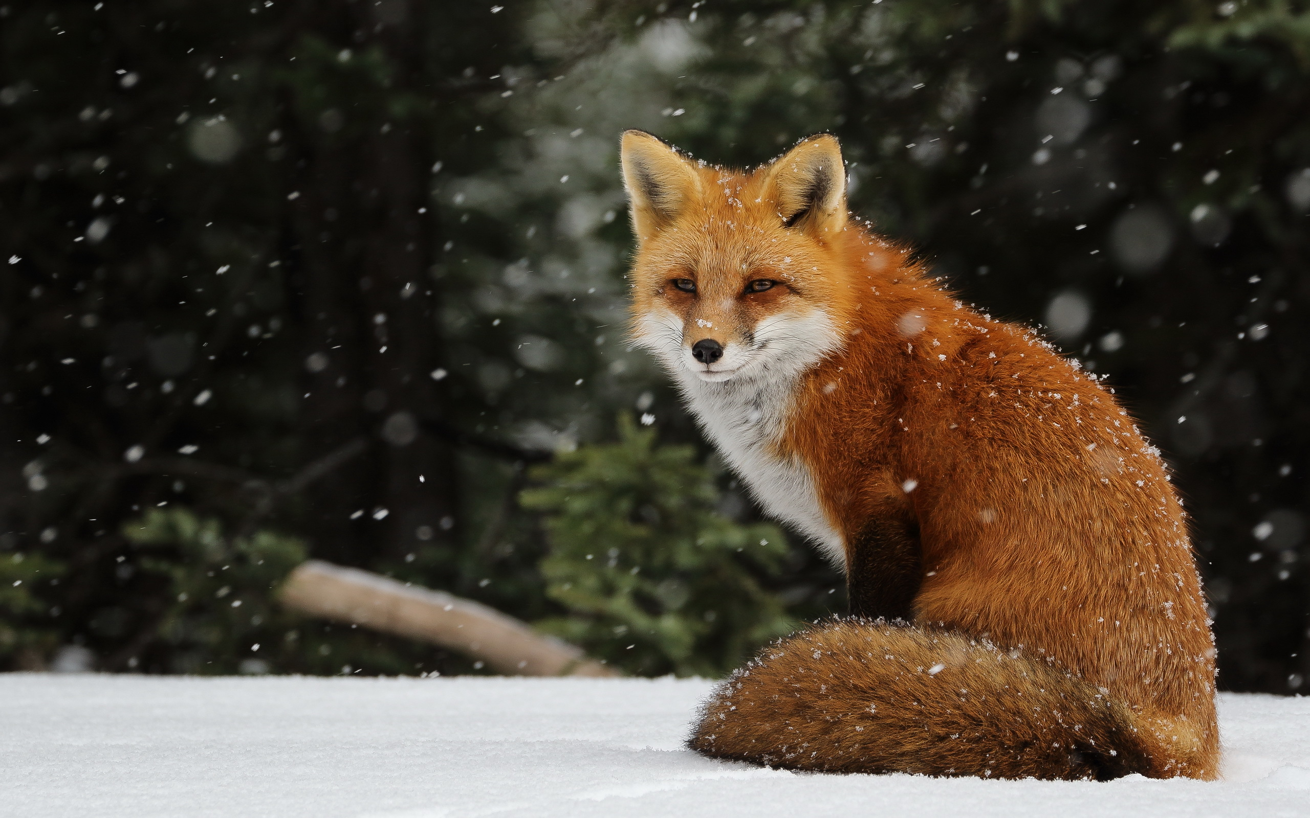 red fox hd wallpapers - photo #6