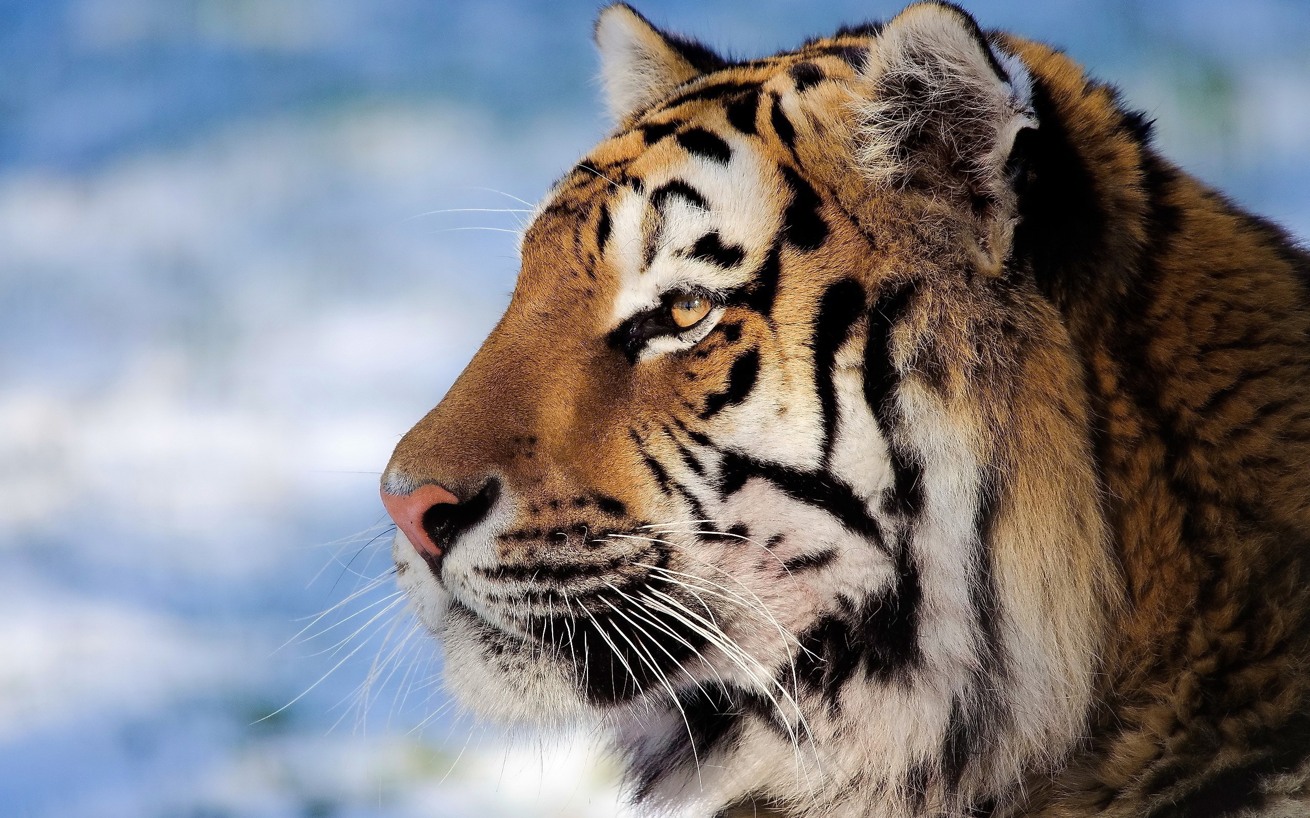 Tiger Face Wallpapers  Pictures  Wallpaper Backgrounds